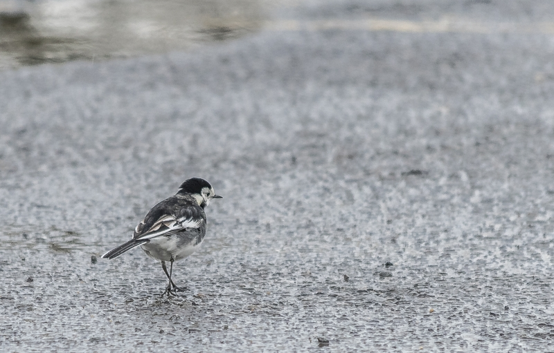 Pied Wagtail - Alconbury Airfield
