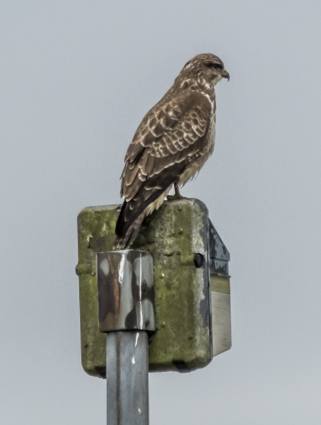 Kestrel - Alconbury Airfield