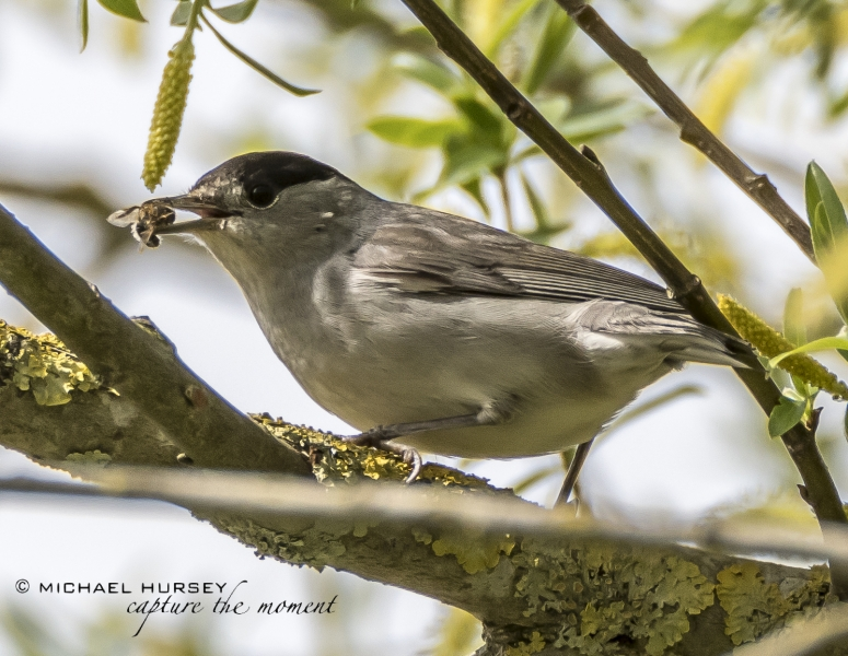 Blackcap - Alconbury Airfield