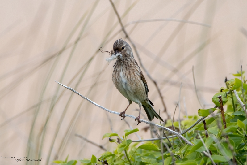 Female Linnet, North Cornwall