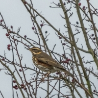Redwing - Alconbury Airfield