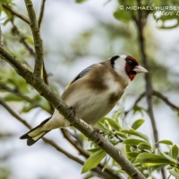 Goldfinch -Little Paxton Reserve