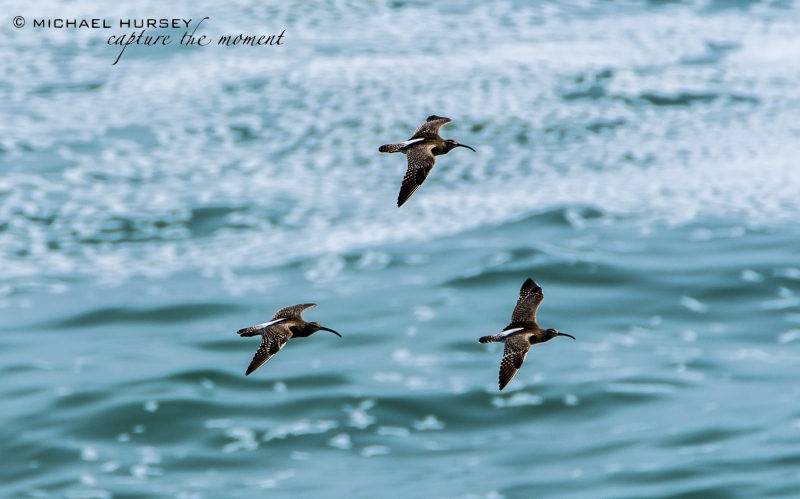 Whimbrel in flight, Cornwall