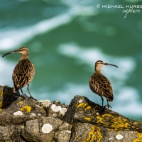 Whimbrel, Cornwall