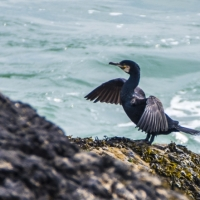 Cormorant, North Cornwall